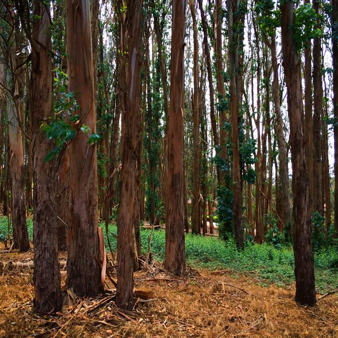 Presidio Trees