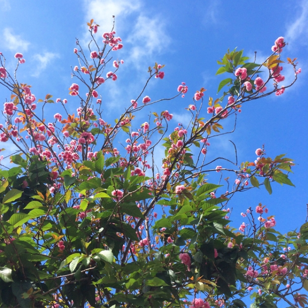 pink flowering tree branches reaching up into a blue sky