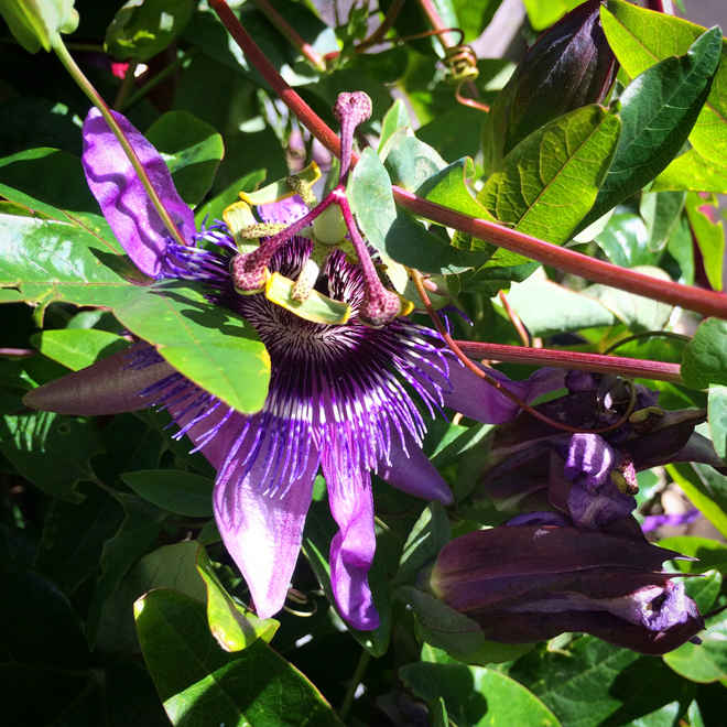 passion flower in Eureka Valley