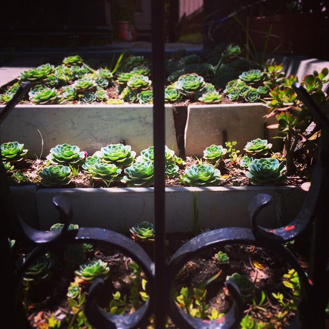 succulent front lawn