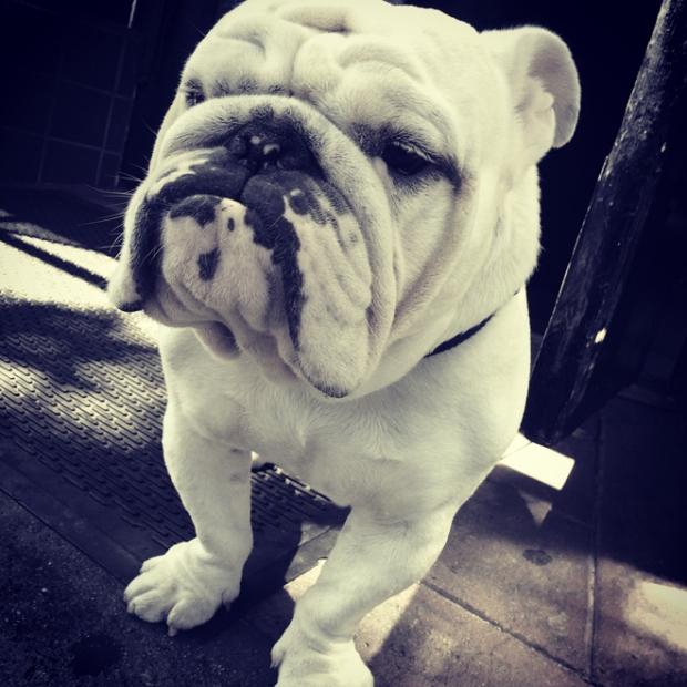 Bladerunners' bulldog