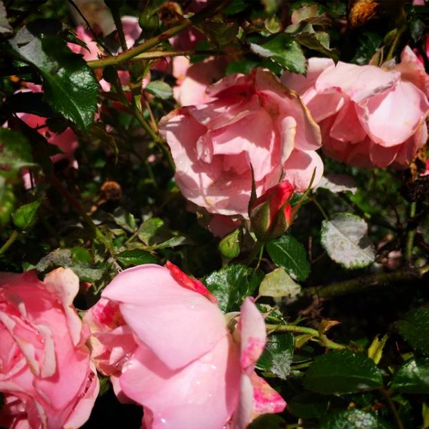 roses in Huntington Park in San Francisco