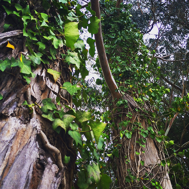 eucalyptus trees with vines in Stern Grove, San Francisco