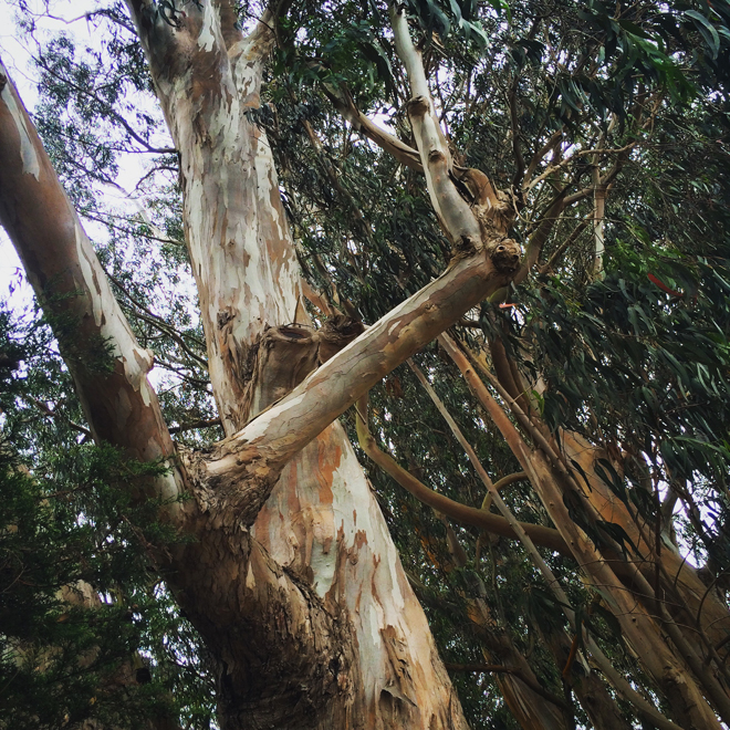 eucalyptus trees in Stern Grove, San Francisco
