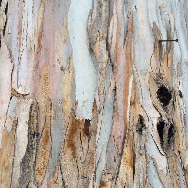 eucalyptus trees in Stern Grove, San Francisco