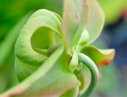 Pitcher Plant in Mint Green - Museum-quality art prints of this image available at www.CollectedWorksCurios.com